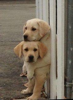 Yellow Lab Puppies #labradorretriever