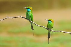 Bandala National Park (Sri Lanka). 'Bird bee- eater  watching in Bundala National Park