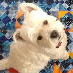 My quilting buddy #dogsonquilts