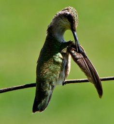 Hummingbird Preening Her Feathers  Photographed by Teresa Albert