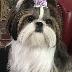 See this Instagram photo by @shihtzu_daily • 25 likes