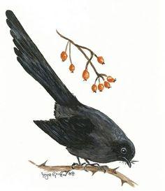 NZ Black Robin