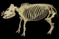 Sumatran rhino skeleton from Museum of Osteology.