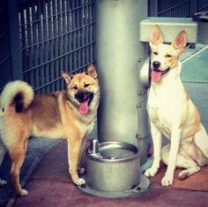 Staying cool at Main Street Garden Dog Park - Dallas, TX - Angus Off-Leash Dog Park, Dallas Texas, Dogs Of The World, Shiba Inu, Main Street, Cute Dogs, Parks, Corgi, Puppies