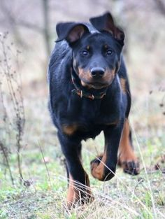 Beauceron in action Pet Vet, Pet Dogs, Border Collie, Animals And Pets, Cute Animals, Choosing A Dog, Leopard Dog, Dog List, Beautiful Dogs