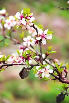 Apricot Blossom, Almond Blossom, Spring, Flowers, Beautiful, Globe, Destinations, Gardens, Tattoo