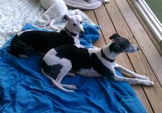 My two black and white whippets, Brie and Elle