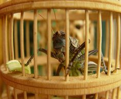 "This sound producing action is called ""stridulation"" and the song is species-specific. There are two types of cricket songs: a calling song and a courting song. The calling song attracts females and repels other males, and is fairly loud. The courting song is used when a female cricket is near, and is a very quiet song."