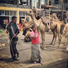 Camels in Ethiopia...who knew? Along the edge of and into the Rift Valley, camel herds and drives are a common sight in the road and on. Traditionally, it was on their backs that salt made its way out of the deserts of the Danakil Depression into the highlands.