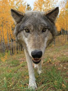 Colorado Wolf and Wildlife Center. Dreamcatcher would love this. I'll tale her there someday!