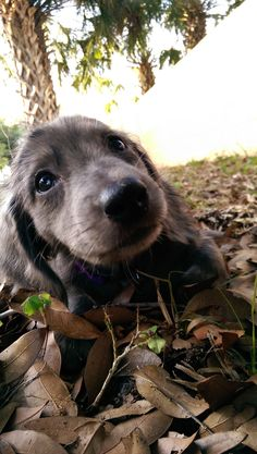Cute Silvia Gallery - Silver Dapple Dachshund - Silvia being cute outside Dachshund Breed, Dachshund Funny, Dachshund Love, Silver Dapple Dachshund, Long Haired Dachshund, Cute Puppies, Cute Dogs, Dogs And Puppies, Doggies