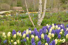 Hyacinth in the Lern