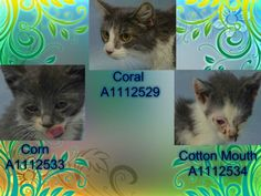 CORAL – A1112529, CORN – A1112533, COTTON MOUTH – A1112534_    Mom With 2 Nursing Kittens! Can you Help CORAL & her Babies!?