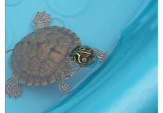 Map Turtle from sheffield lake, OH