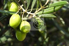 Tableau ou Poster Olives sur une branche