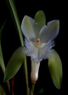 Lycaste trifoliata unbelievable beauty...thank you for sharing