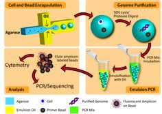 HIGH CAPACITY ePCR: Agarose gel lets researchers increase the volume of the PCR reaction to encapsulate a single cell and primer-coated bead for easier readout. Purification Oil, Next Generation Sequencing, Genetics, Medicine, Dna, Dinners, Lose Weight, Geek, Foods