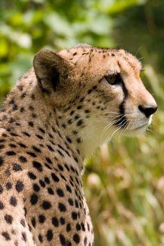 Cheeto cheetah