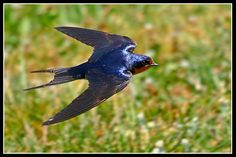 Hirundo rustica Barn Swallow They've been busy catching insects out over the pond today. Little Birds, Love Birds, Beautiful Birds, Barn Swallow, Swallow Bird, Swift Bird, Chicken Bird, Bird Wings, Backyard Birds