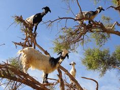 Tree Goats. No Four.