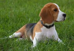 North Country Beagle Dog | Funny Puppy & Dog Pictures