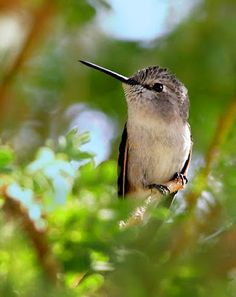 Lovely hummingbird from Picasa