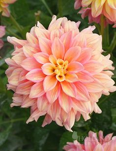 ICE CUBE: Rosy, creamy and peach colored blooms are large and look great when planted with purples, pinks and other whites. We adore this new dahlia, which will grow up to in full sun, and bloom from mid-Summer until your first frost. Dahlia Flower, My Flower, Planting Bulbs, Planting Flowers, Pink Perennials, Blossom Garden, Gladiolus, Flower Farm, Day Lilies