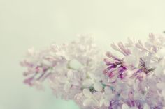 Lilacs - love 'em!  Can't wait for them to come out around Mother's Day.  What a gift!