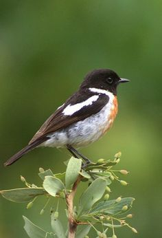 The European stonechat (Saxicola rubicola) is a small passerine bird that was formerly classed as a subspecies of the common stonechat. Long considered a member of the thrush family Turdidae, genetic evidence has placed it and its relatives in the Old World flycatcher family Muscicapidae.