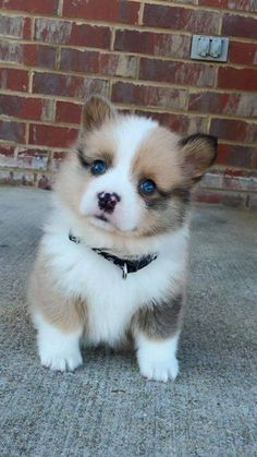Adorable cachorro corgi