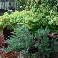 La floraison timide de la lavande anglaise sous la pluie #monjardinsouslapluie #inmygarden #jardindegaspard #charminggardens #lavender #gardenlovers #gardenstagram #gardening #erable #terrace #rainyday #springmood #nothingisordinary
