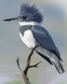 Belted Kingfisher [Megaceryle alcyon] - male.
