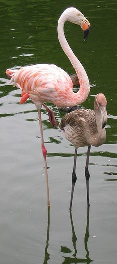 Flamingos - Adult with her chick.