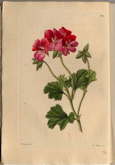 , Neue Arten von Pelargonien, vol. Vintage Botanical Prints, Botanical Drawings, Nature Illustration, Botanical Illustration, Botanical Flowers, Botanical Art, Geranium Tattoo, Historia Natural, Red Geraniums