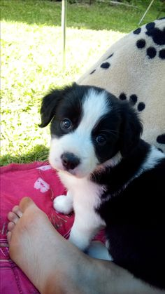 Hello!!<3 This is puppy of border collia and it's MY!! It's my lover <3 <3