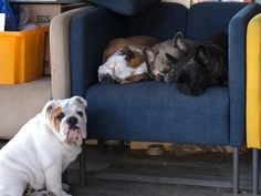 Adopt a bulldog! English Bulldogs, Adoption, Animals, Foster Care Adoption, Animales, Animaux, Animal Memes, Animal, Animais