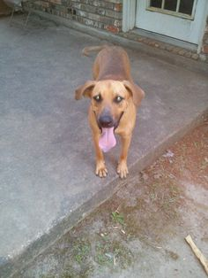 Duke  is believed to be a year old coon hound/ lab mix.  He is  an outside dog and is neutered and up to date on shots! He's good with  other dogs but small dogs aren't such a good fit. He likes to play and  jump, and he doesn't realize how big he...