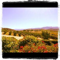 Strolling through the vineyards @leonesscellars #temeculawine