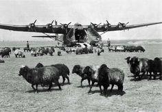 Messerschmitt Me.323 «Gigant» among the grazing sheep, pin by Paolo Marzioli