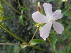 Fiore Saponaria