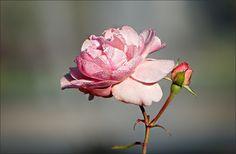 Rose mit Morgentau - Jahreszeiten - Galerie - Community