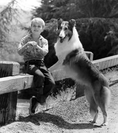 Jon Provost with Lassie. His autobiography is Timmy's in the Well - The best Jon Provost Images, Pictures, Photos, Icons and Wallpapers on RavePad! Classic Tv, Classic Movies, Jon Provost, Rough Collie, Collie Dog, Half Man, Old Shows, Vintage Dog, Best Tv