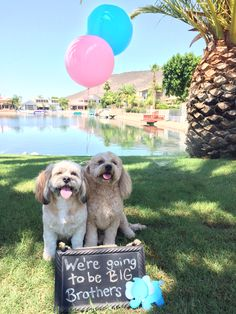 Pregnancy Announcement with dogs!