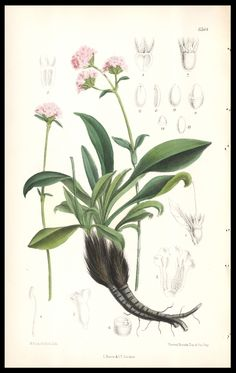 spikenard : William Curtis 1881 : Nardostachys jatamansi : john 12: 3