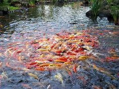 a Feeding Frenzy-Hawaiian Koi that have come accustomed to humans to be fed....is why we should not feed wild animals, birds and fish...they grow dependent and is how they usually dye, of starvation, unable to feed themselves