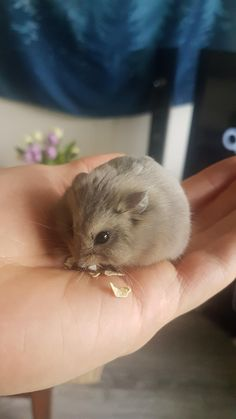 Cute Hamster in hand Hamster Pics, Baby Hamster, Hamster Treats, Cute Funny Animals, Cute Baby Animals, Animals And Pets, Fluffy Animals, Cute Creatures, Beautiful Creatures