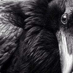 Image result for ravens