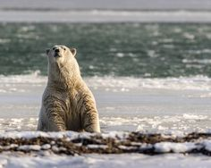 A polar bear emerges from the water after a swim Arctic National Wildlife Refuge USA. | Photo by Ian Plant