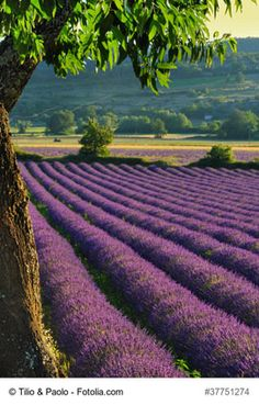 Lavender field in Provence, inland from Toulon - Toulon is a city set against the mountains, stretching along the Mediterranean bay with one of the prettiest harbors in Europe. It is a great hub to explore the nearby glitz and glamour of the French Coast and Provence's beautiful landscapes of lavender fields and vineyards that are a must-stop if you are planning a visit to this region.
