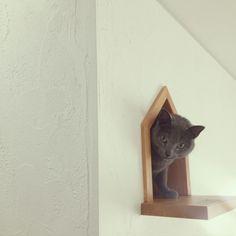 apiさんの、ロシアンブルー,塗り壁,キャットウォーク,猫用出入り口,リビング,のお部屋写真